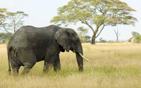 Animals_Elephants_Elephant_in_the_savanna_031541_