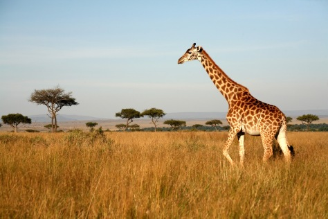 Giraffe-Amboseli-Kenya