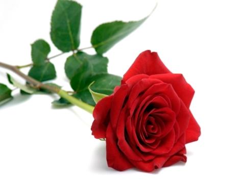 red-rose-04