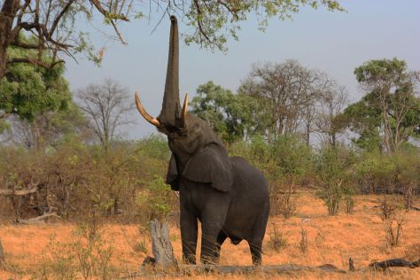 african_elephant_loxodonta_africana_reaching_up_1
